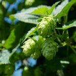 Como Calcular o Amargor em IBU da Cerveja